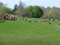 Kor och kalvar njuter av sitt sommarställe